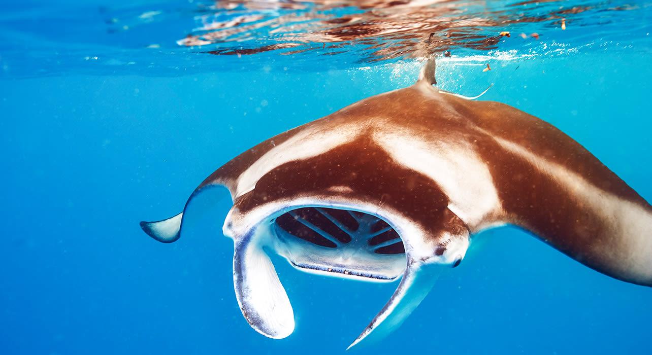 hawaii manta ray