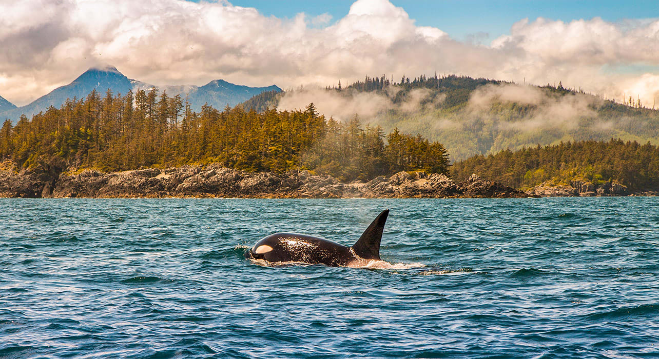 orca killer whale pacific northwest