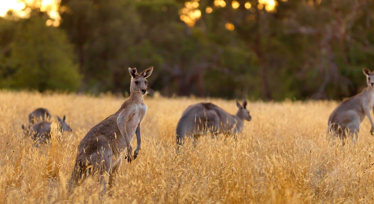 kangaroo wallaby australia