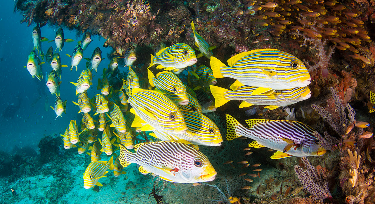 sweetlips fish great barrier reef australia