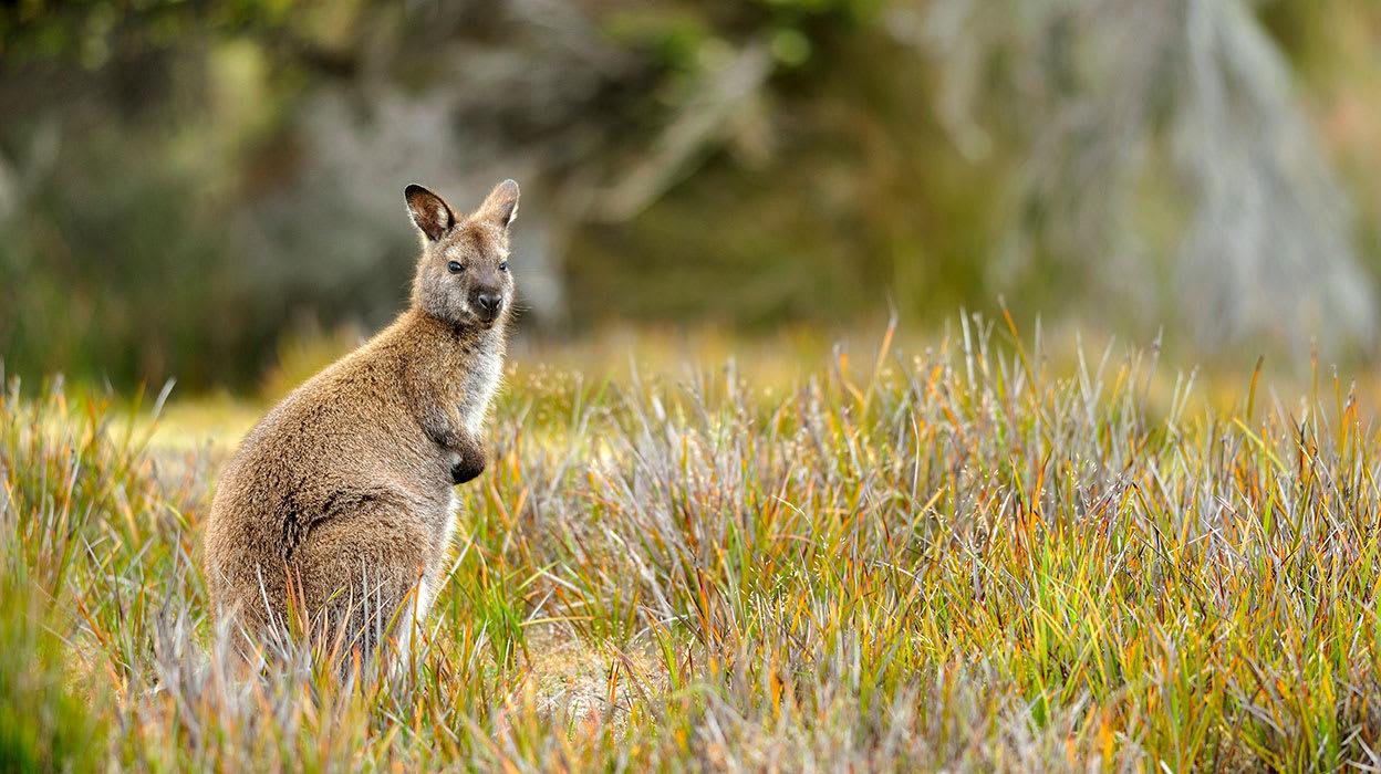 australia tasmania wallaby wildlife