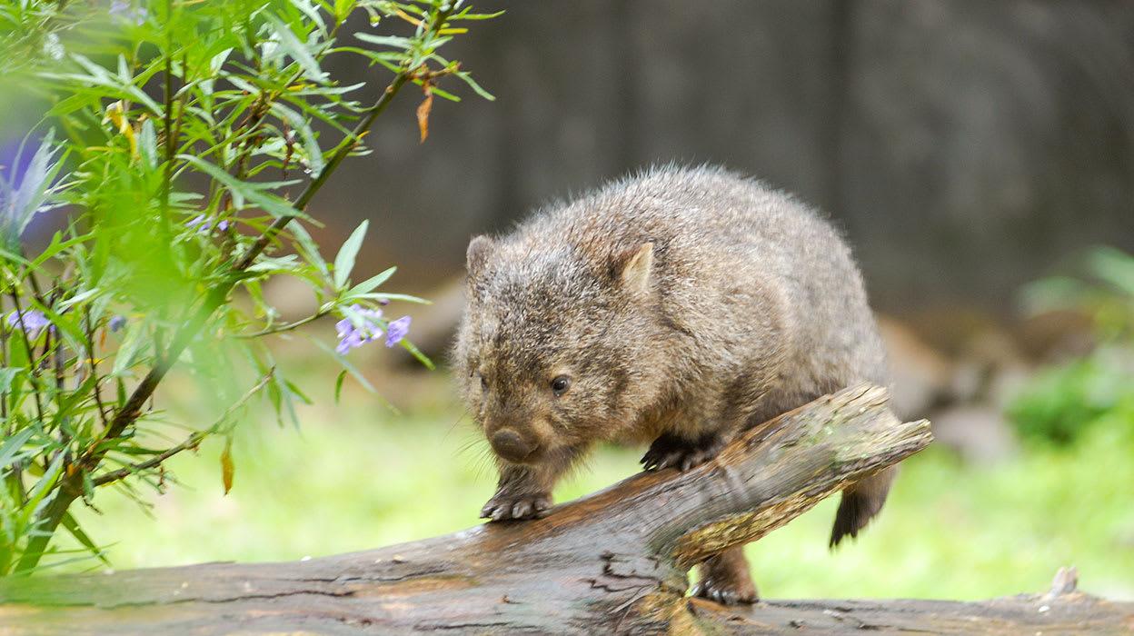 australia tasmania wombat on log