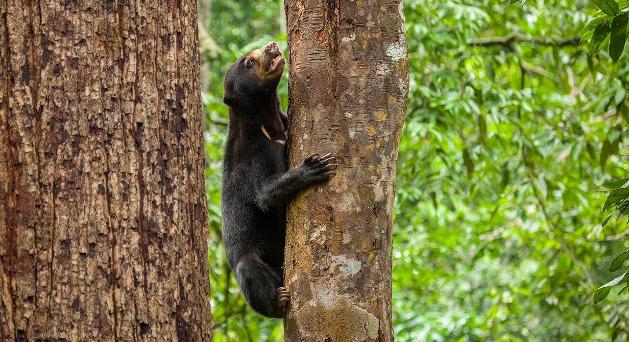 borneo bornean sun bear climbing tree