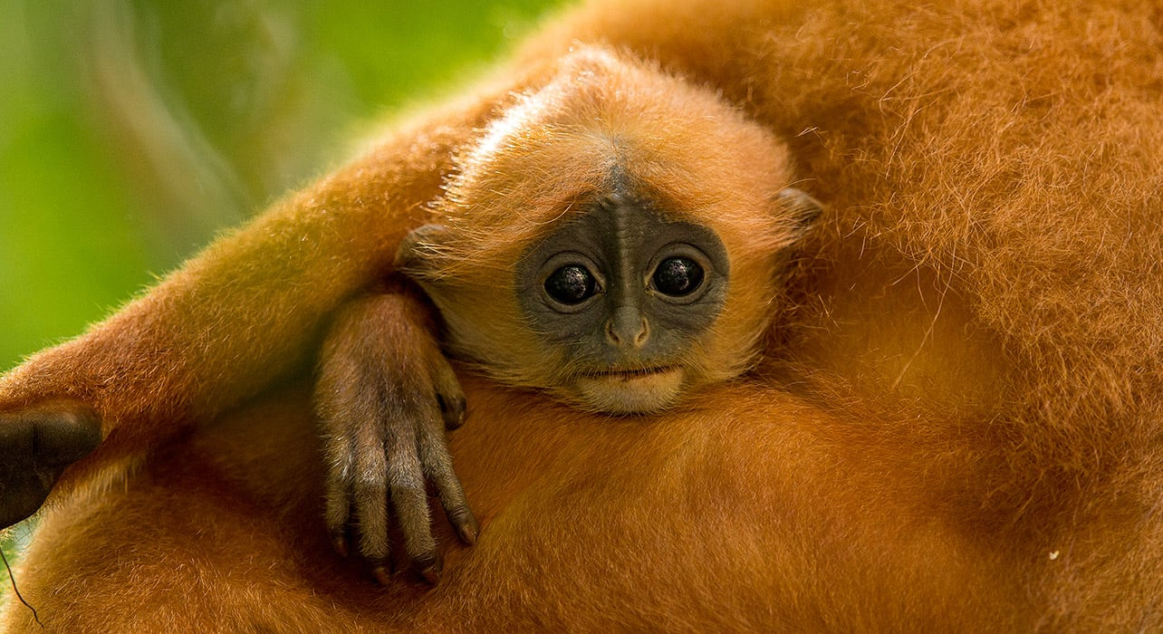 borneo red leaf langur baby
