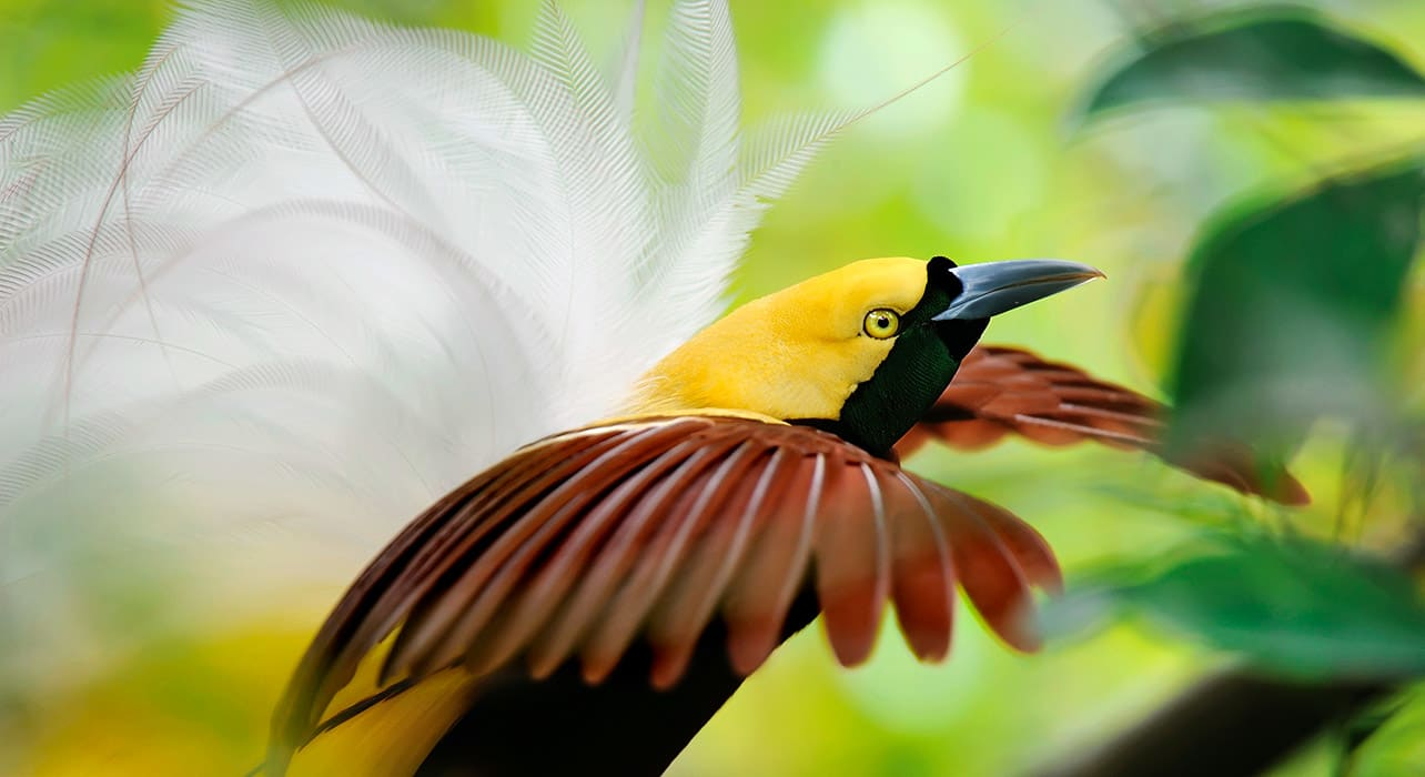 indonesia lesser bird of paradise