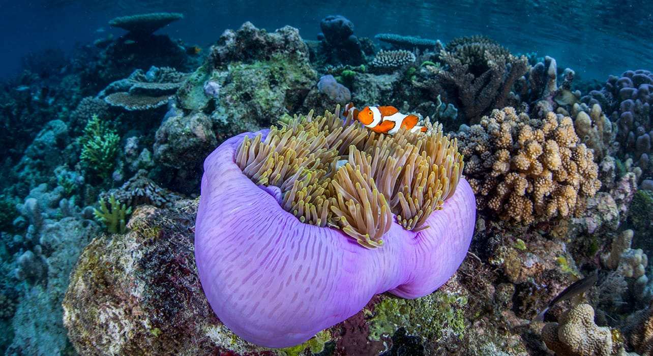 indonesia snorkeling anemone fish