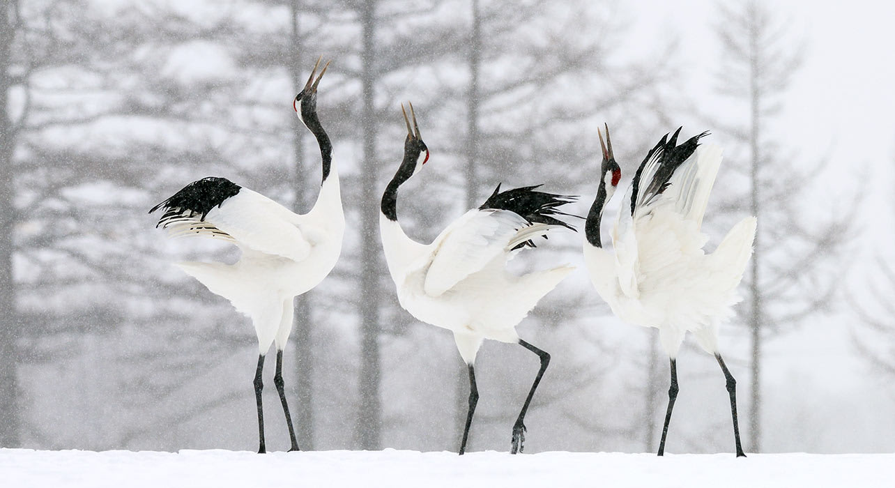japan cranes courting winter