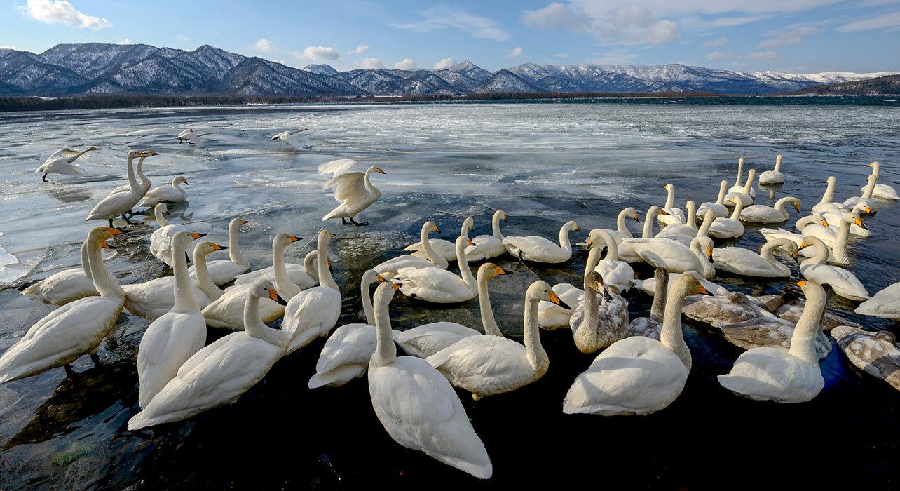 kussharo lake hokkaido swans