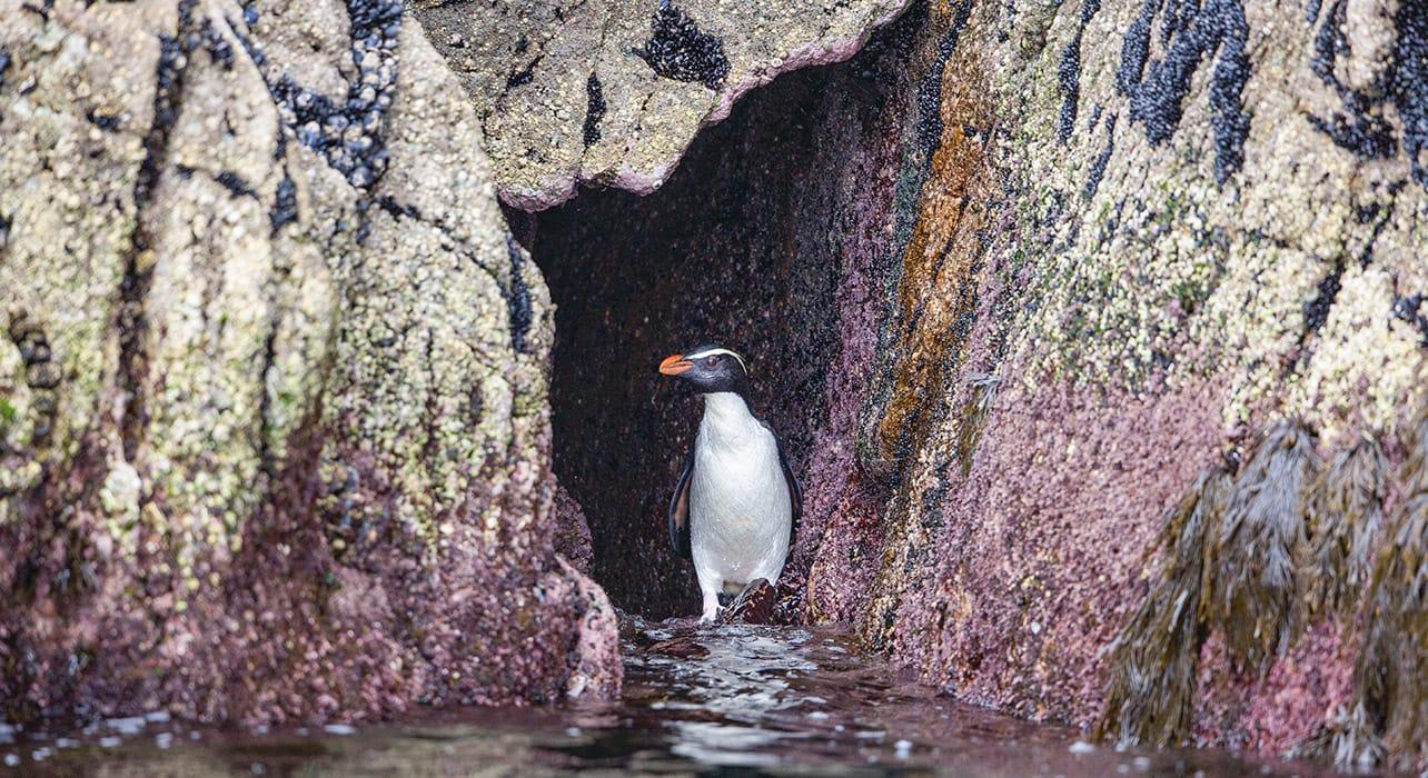 new zealand dusky sound yellow eyed penguin
