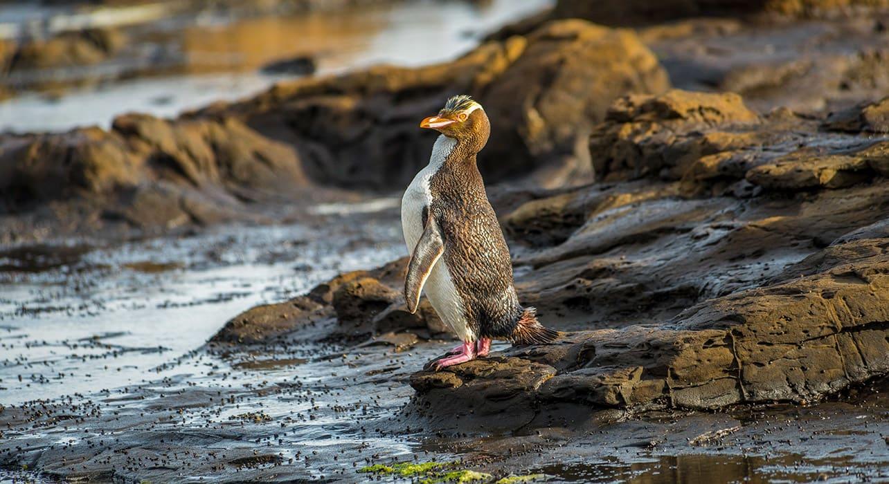 5 slide new zealand yellow eyed penguin wildlife pano