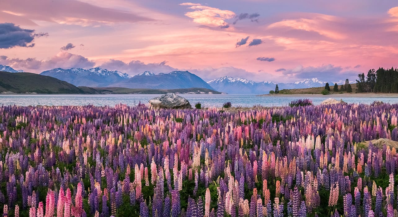 new zealand south island lake tekapo lupines sunset