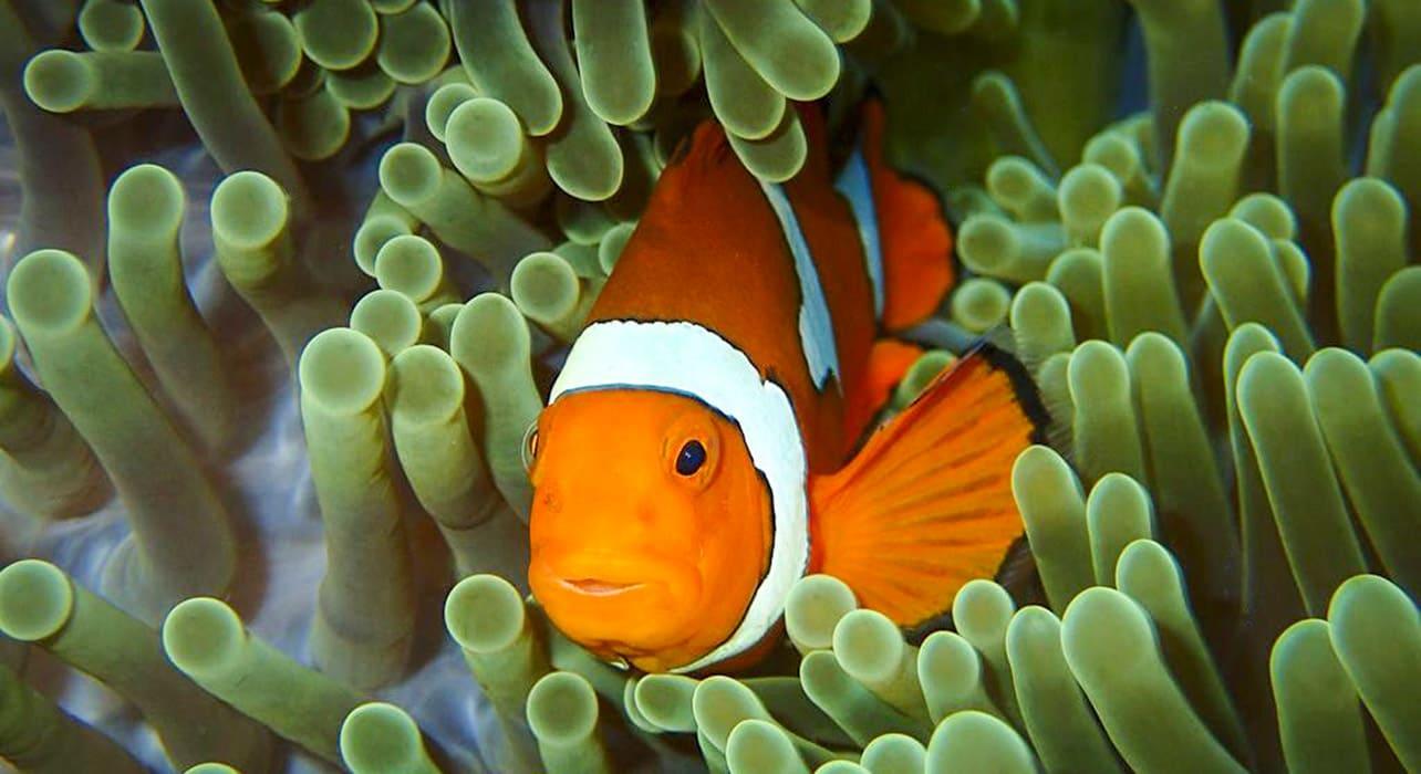melanesia anemone fish