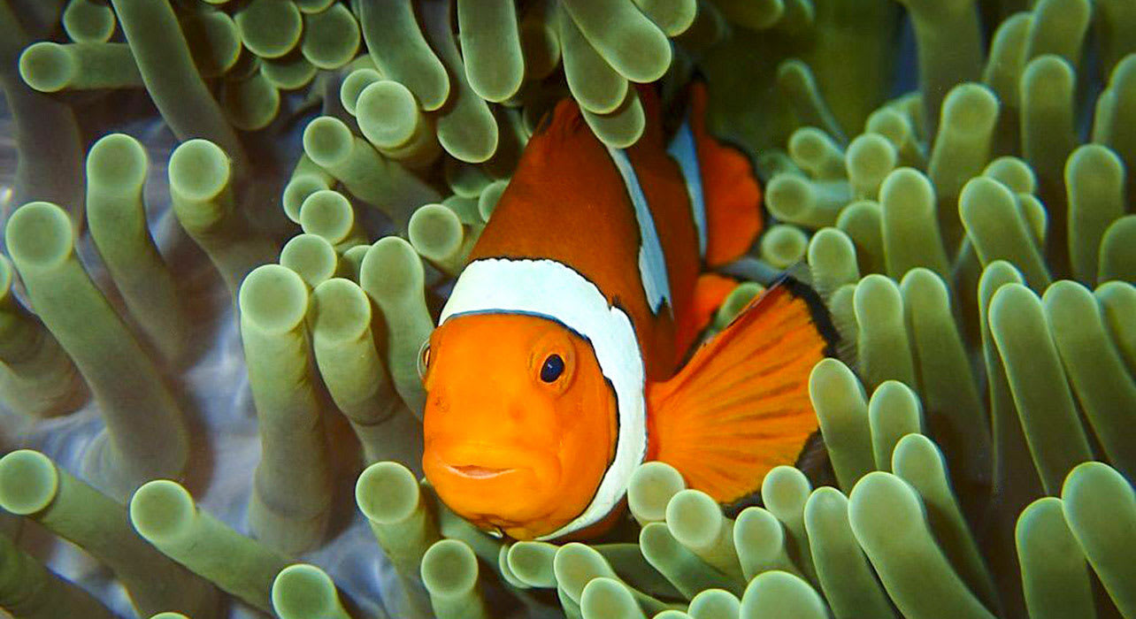 heritage expeditions op melanesia anemone fish cradj