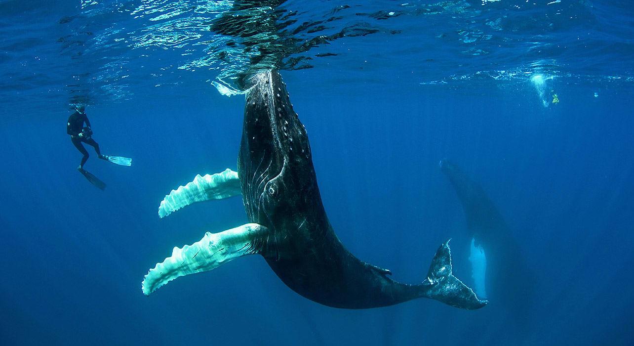underwater swimming with the humpbacks tonga