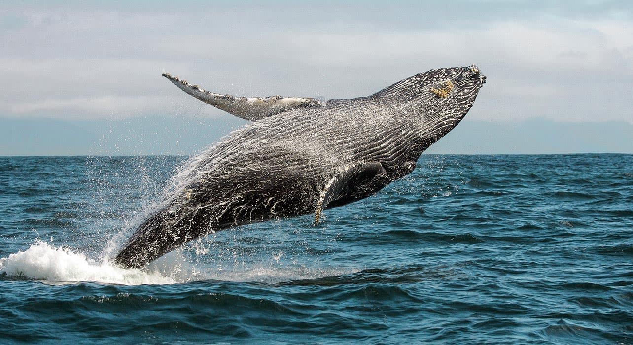 tonga humpback whale breach pacific