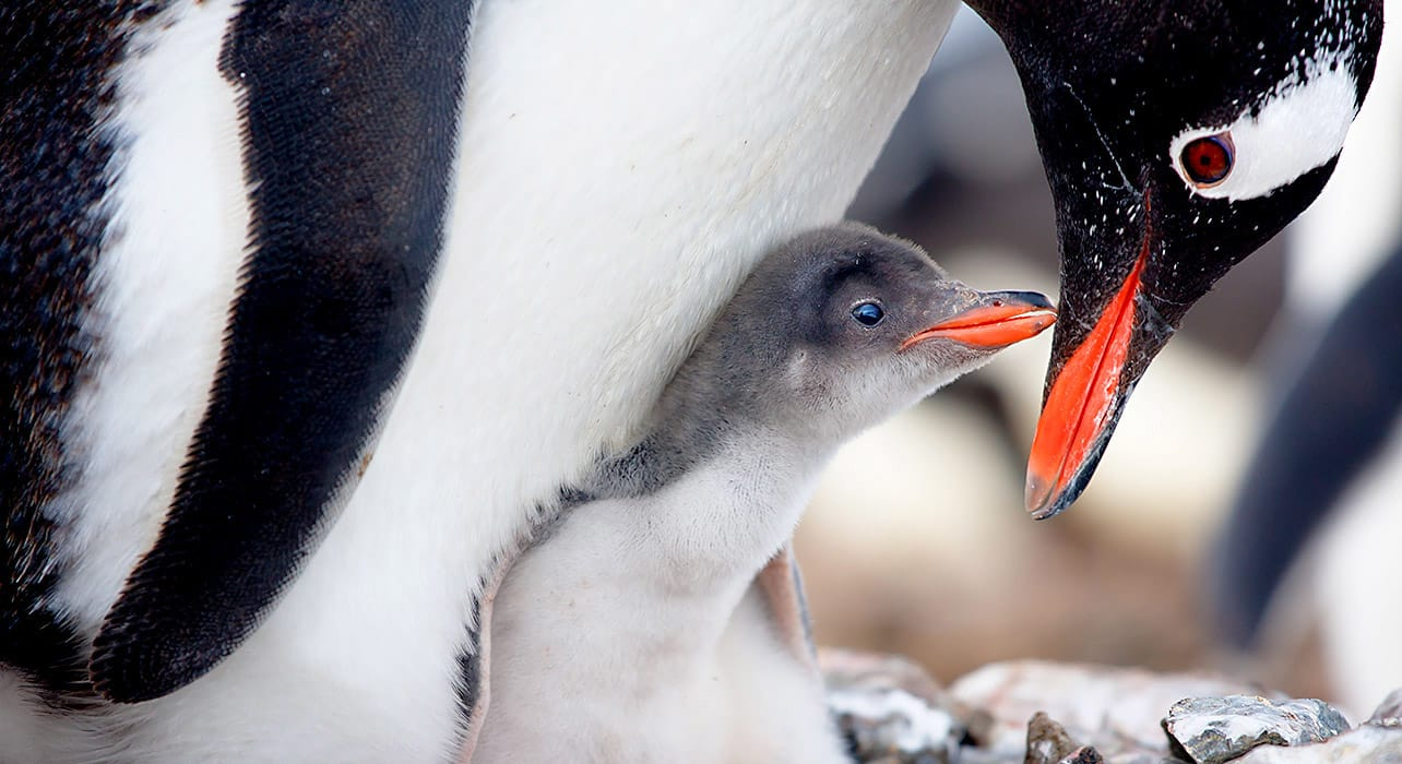 anatarctica penguins rocky