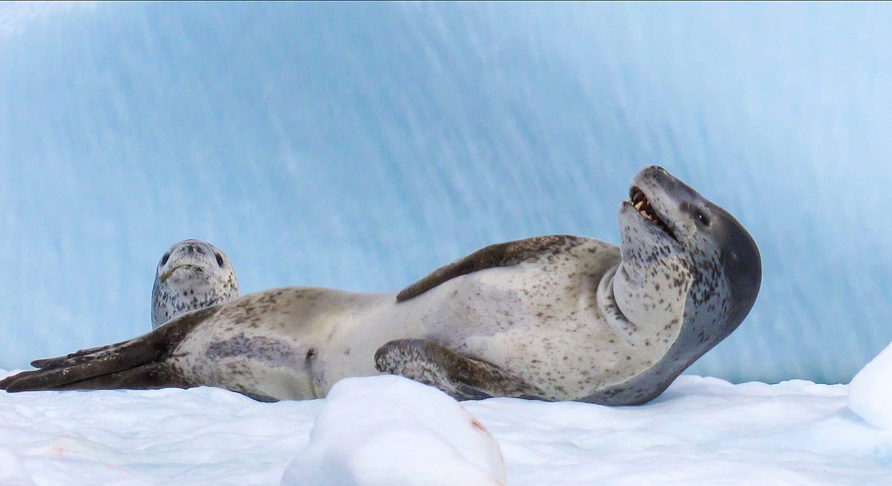 antarctica leopard seal