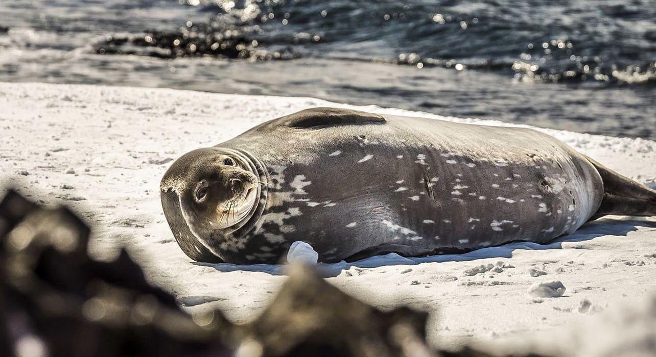 antarctica seal on iceberg resting