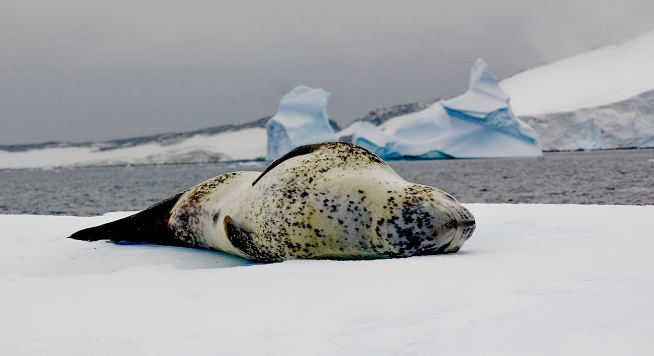 ice leopard seal