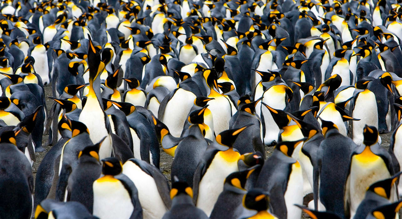 antsgeofalk king penguins