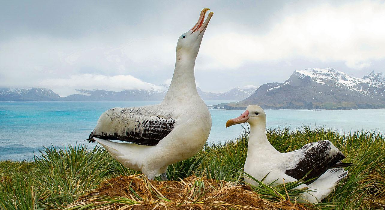 antarctica south georgia wandering albatrosses