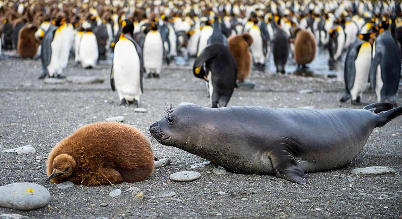 falklands south georgia antarctica seal baby penguin