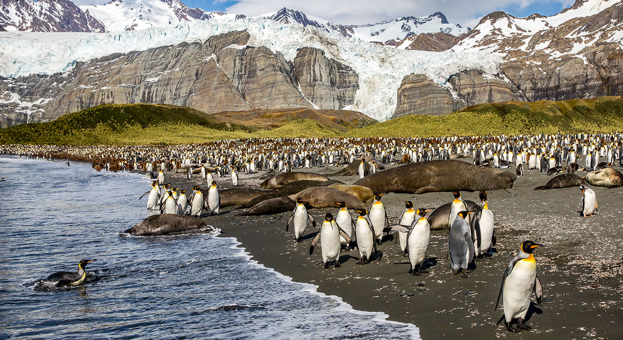antarctica south georgia island king penguins