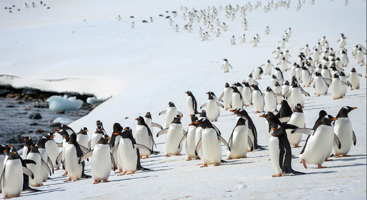 penguins gentoo procession