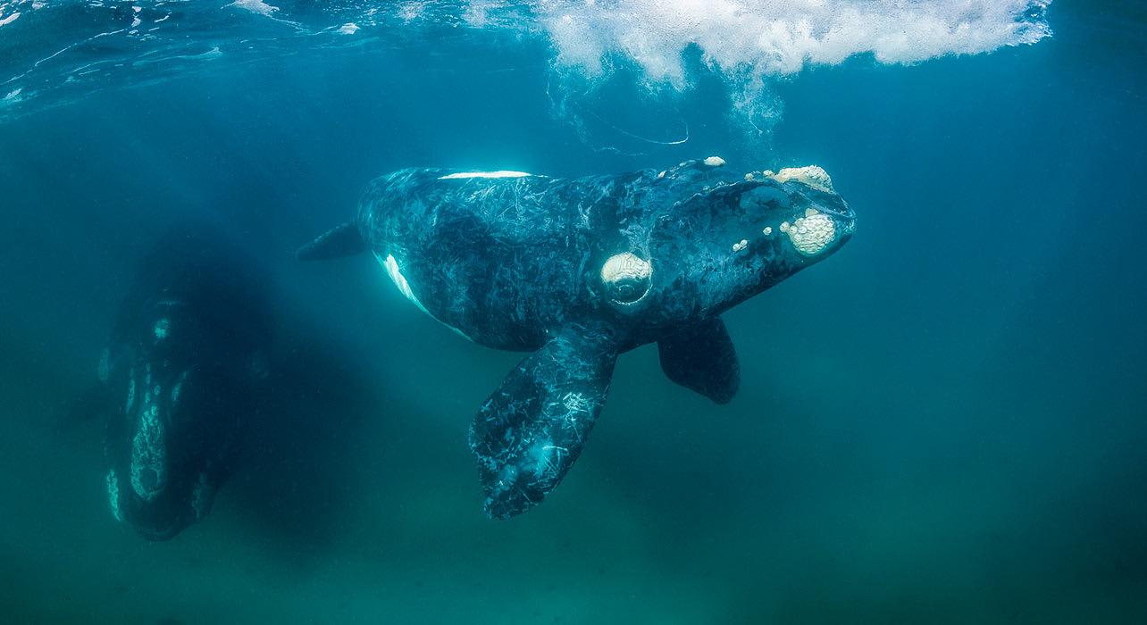 baleen right whalr underwater antarctica