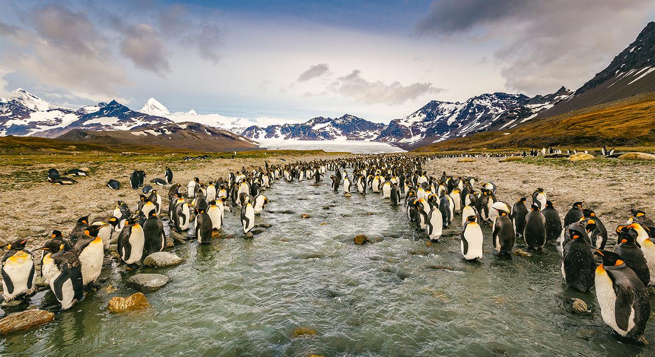 antarctica south georgia king penguins st andrews bay
