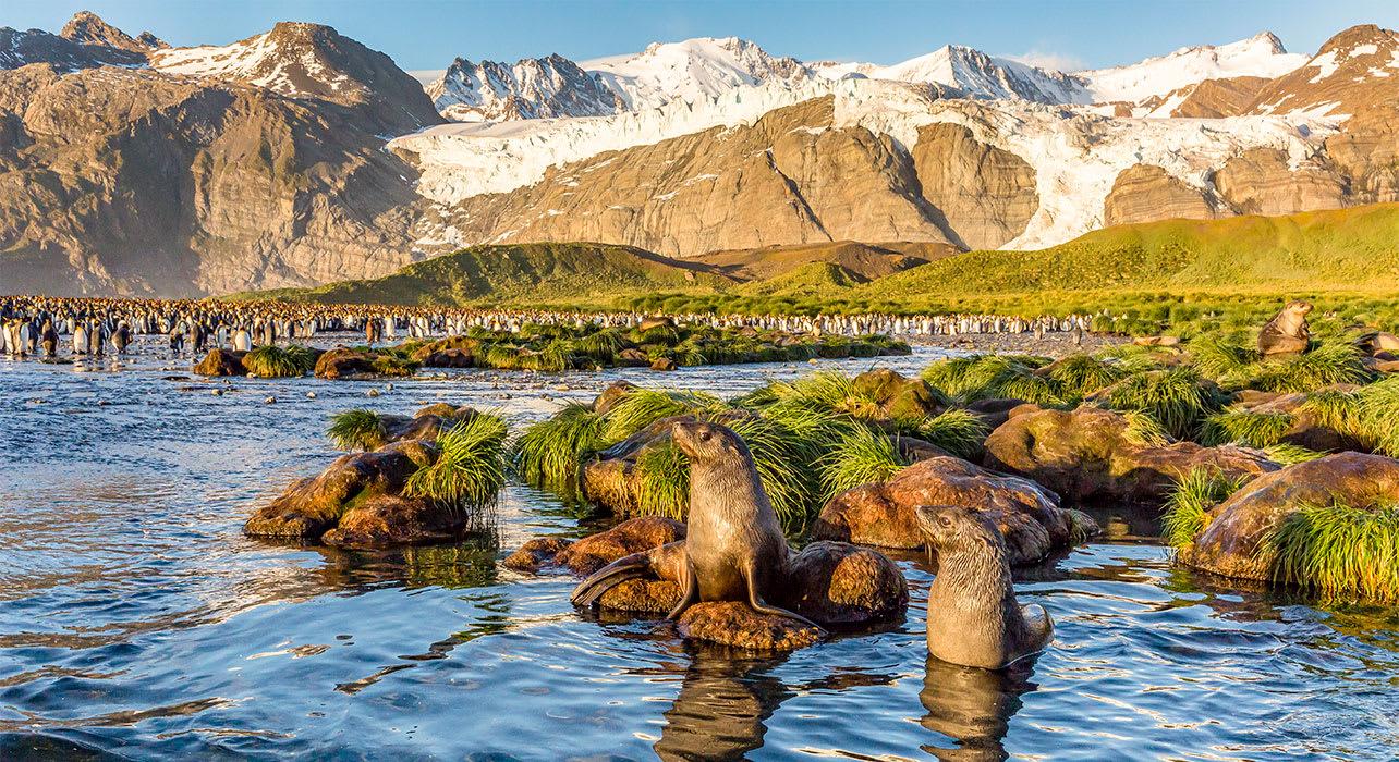 antarctica south georgia island gold harbor seals penguins