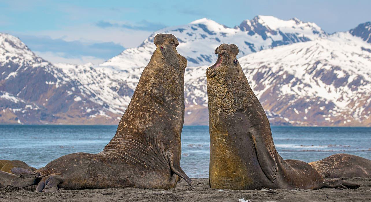 antarctica south georgia elephant seals