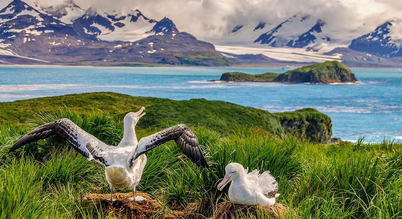 antarctica south georgia albatross nesting