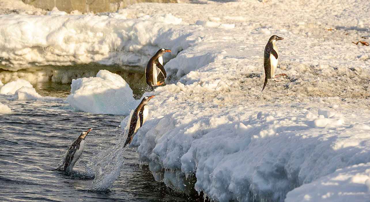 weddell sea antarctica adelie penguins jumping onto iceberg