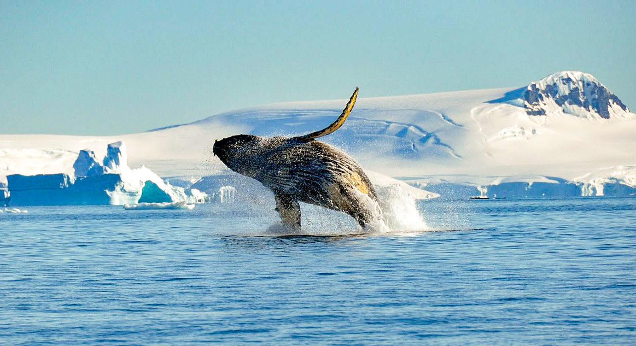 weddell sea antarctica humpback whale breaching