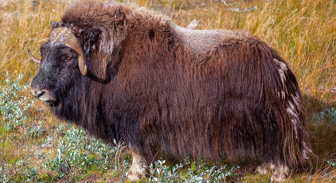 canada greenland musk ox wildlife