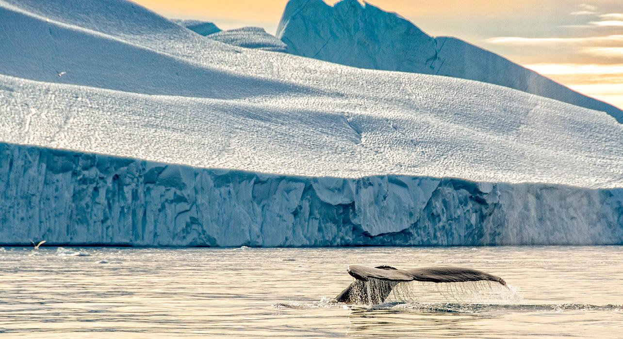 greenland ilulissat humpback whale sunset
