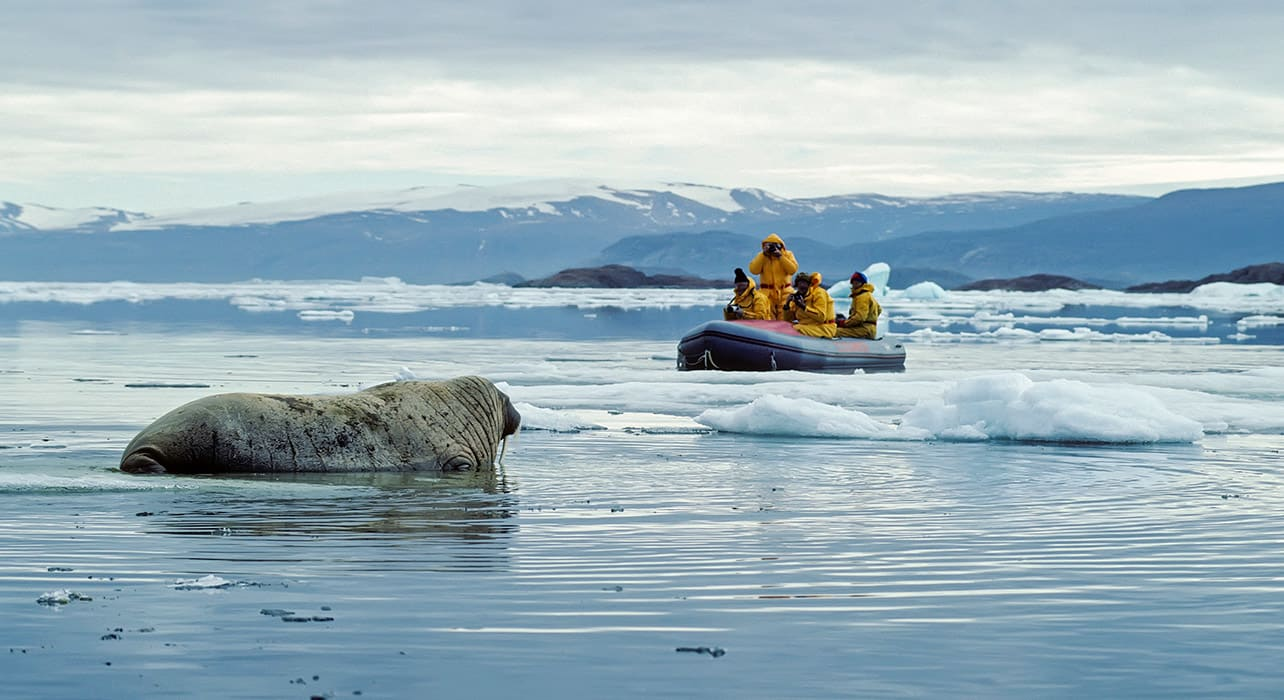arctic walrus zodiac