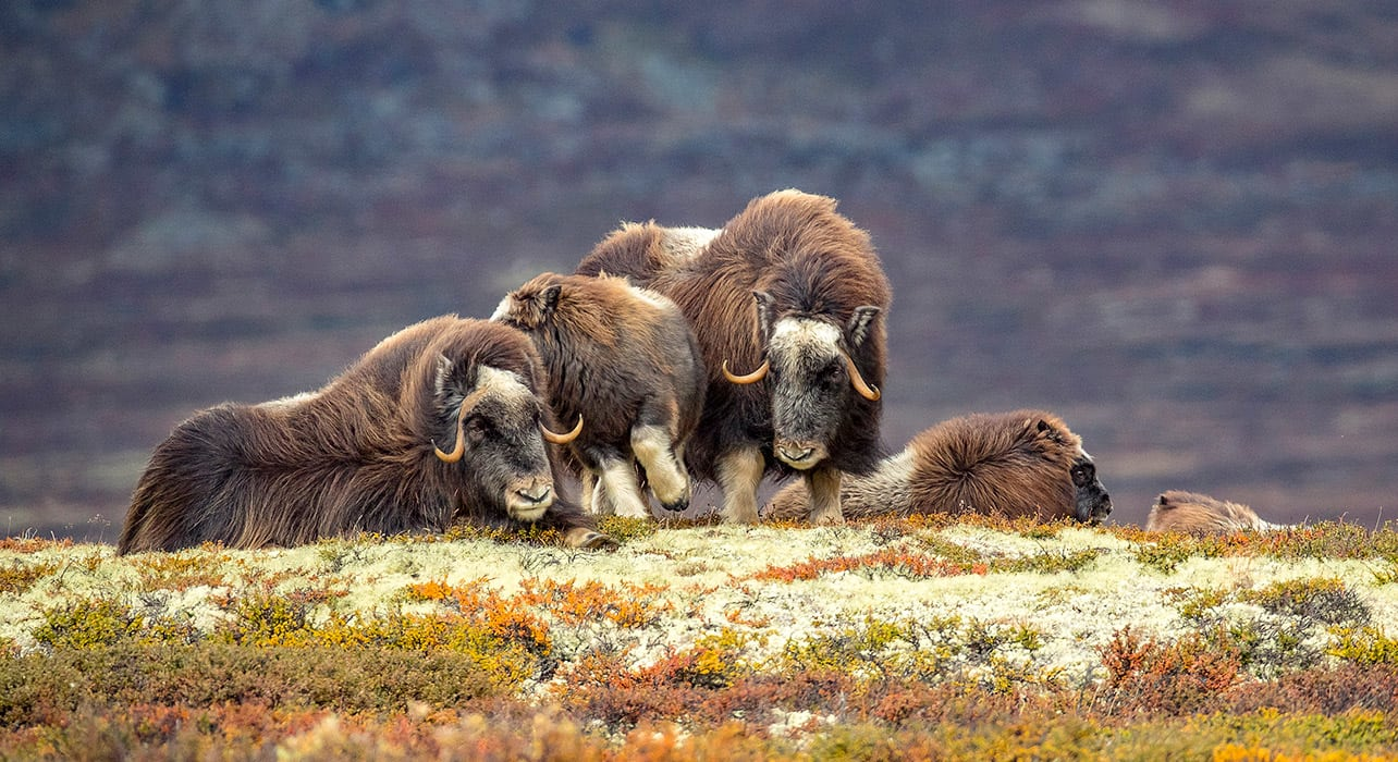 greenland musk ox family