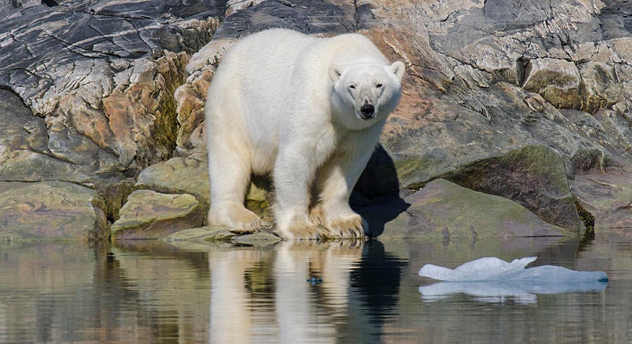 4 slide path vikings zegrahm napassorssuaq polar bear pano