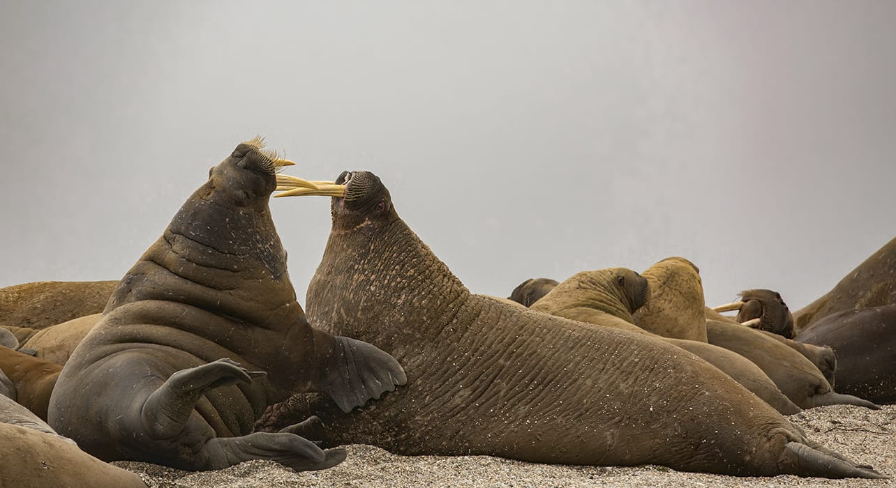 norway svalbard greenland walruses fighting
