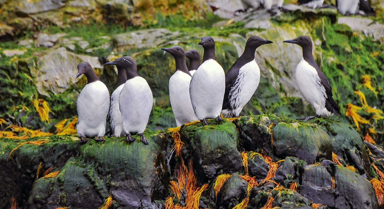 norway svalbard greenland common murres