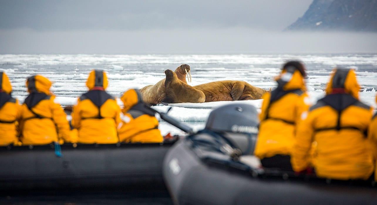 spitsbergen walrus waldenoya svalbard