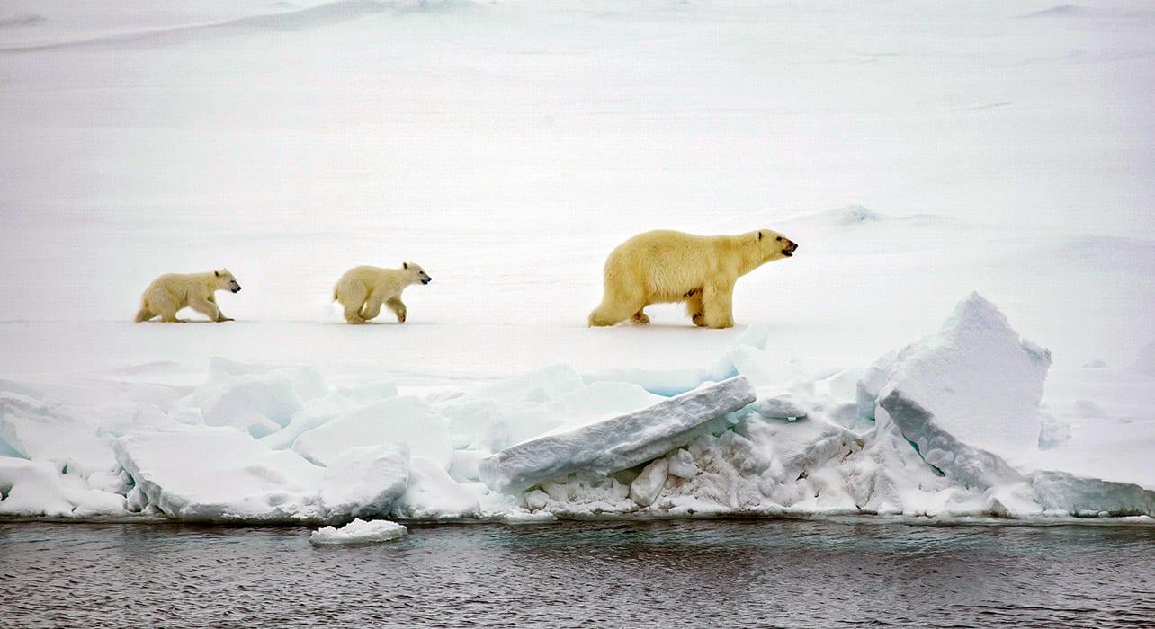 spitsbergen big island polar bear cubs