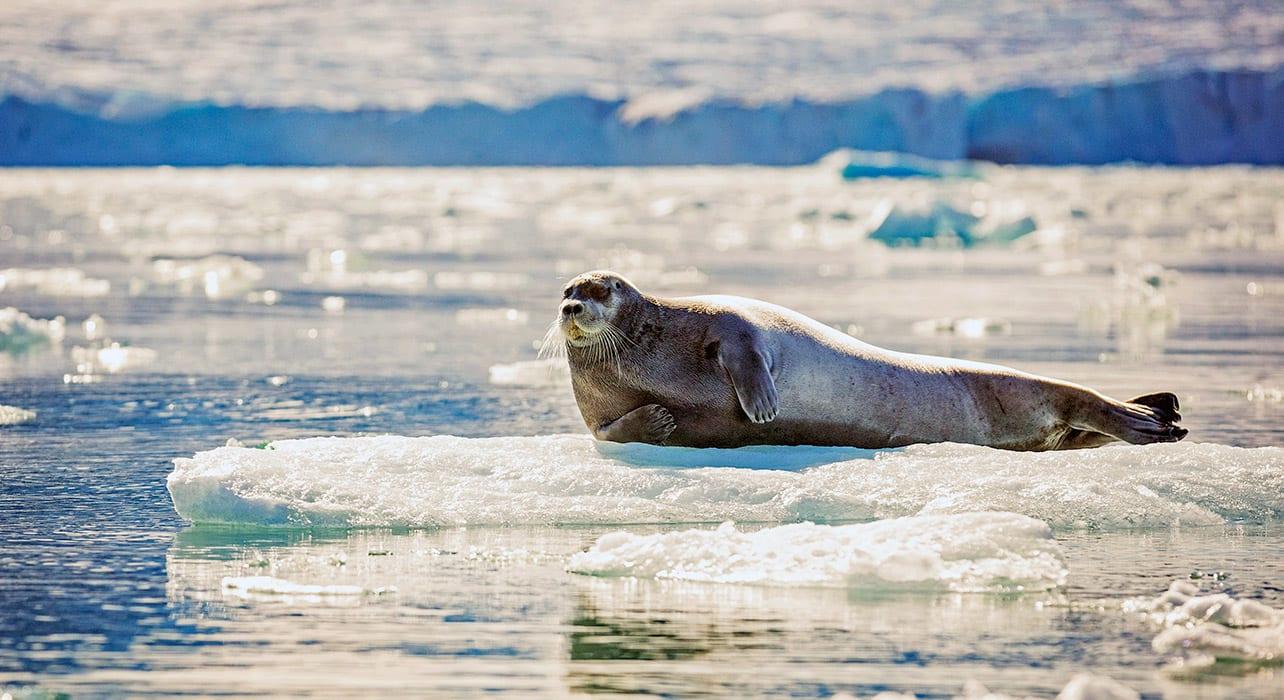 spitsbergen big island svalbard seal
