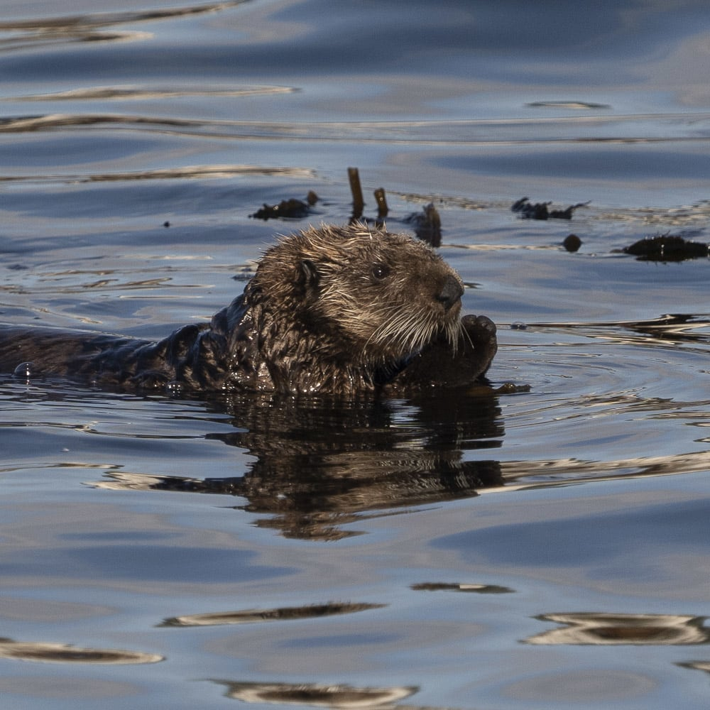 A sea otter swimming in the ocean