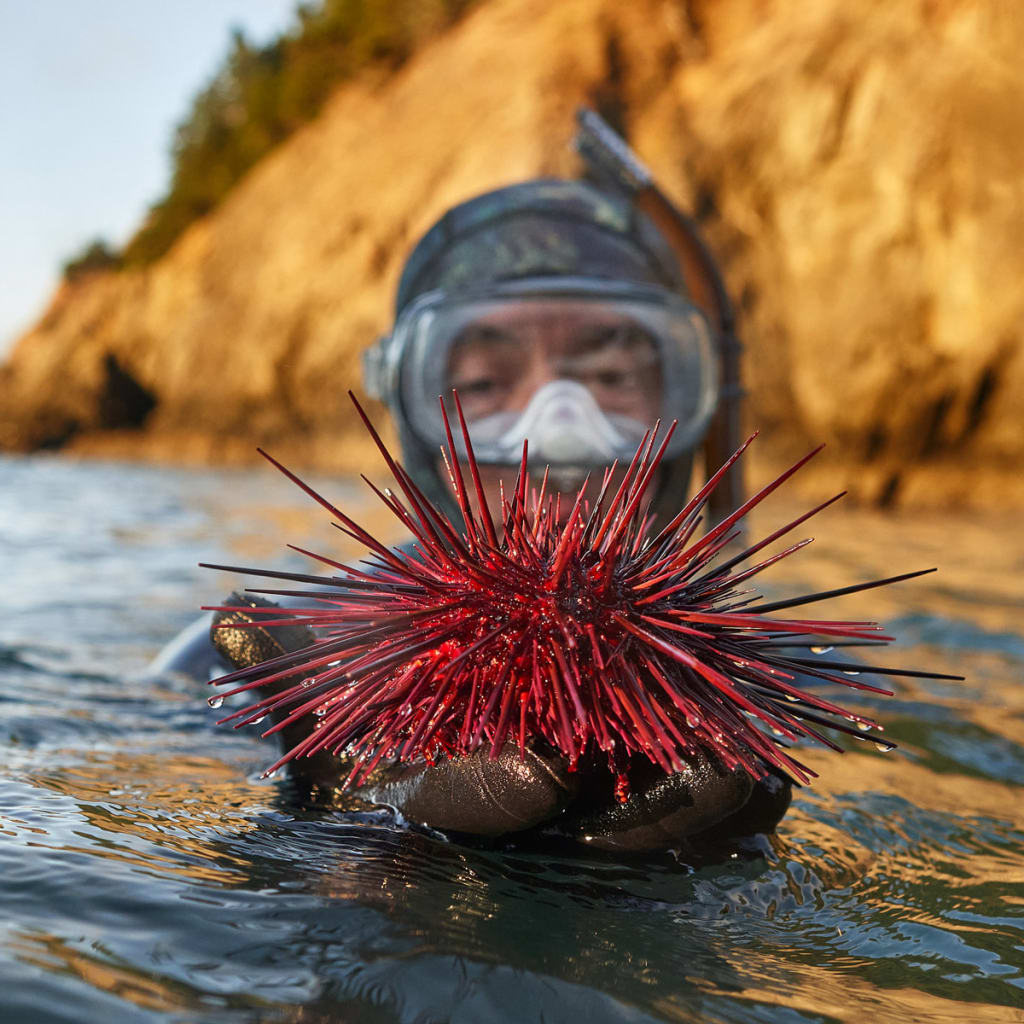 Tom Calvanese holding a large red urchin while snorkeling near Port Orford, Oregon