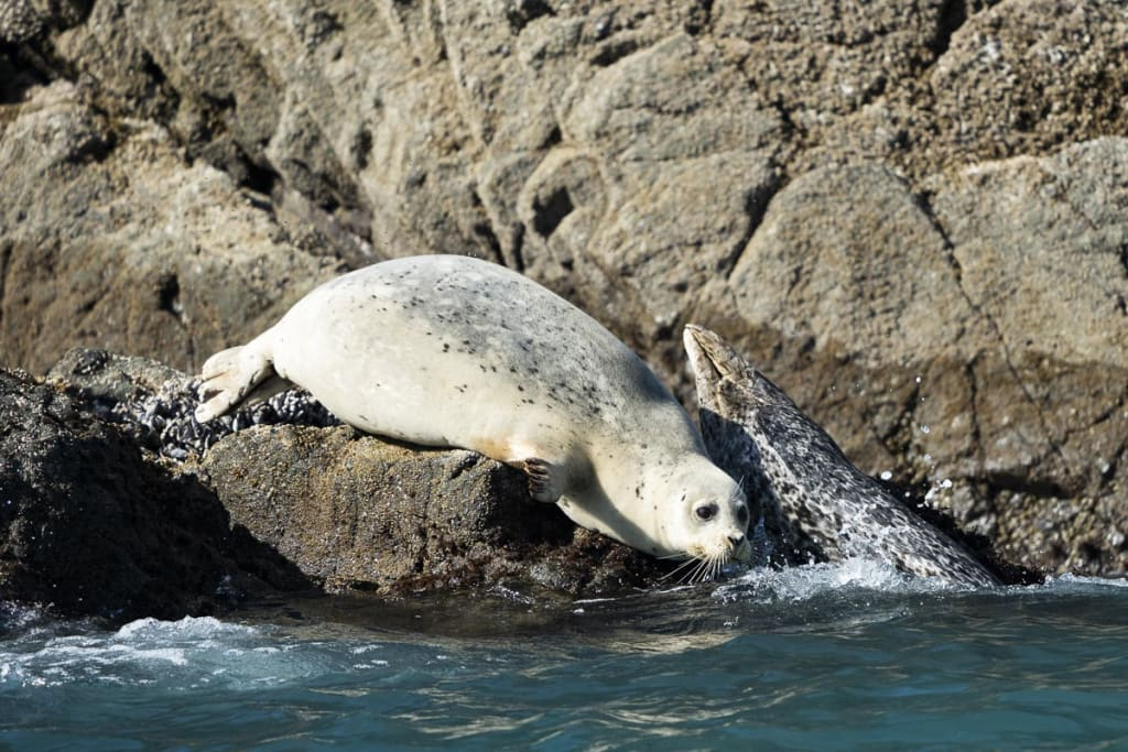 A seal resting on the rocks near Nellies Cove in Port Orford, Oregon