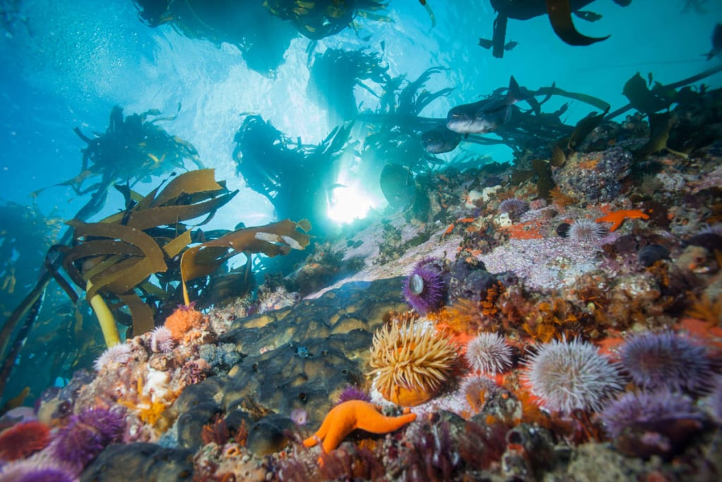 A healthy kelp forest with fish, urchins, and starfish