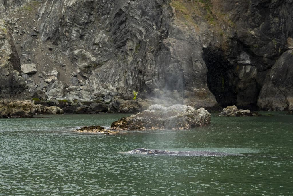 A gray whale breaching in a cove that was once full of kelp near Port Orford, Oregon